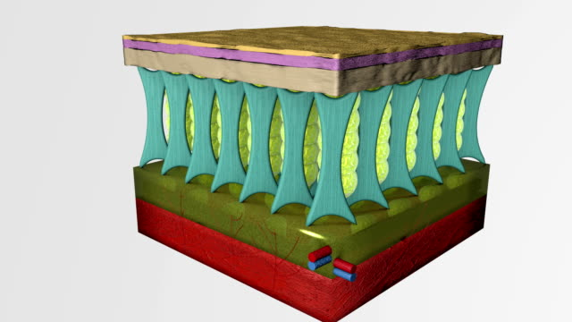 3d animation structure comparison  between normal skin tissue layers and with cellulite. - collagene video stock e b–roll