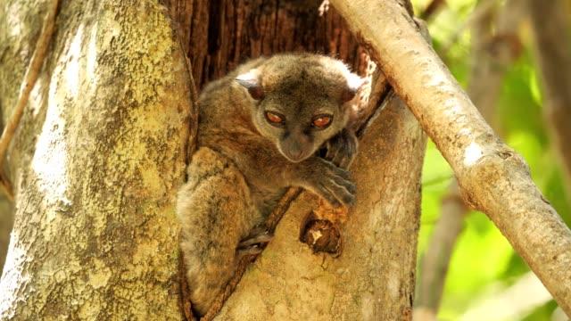 ankarana sportive lemur - lemur bildbanksvideor och videomaterial från bakom kulisserna