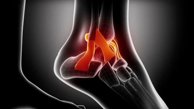 Ankle ligaments and joints anatomy Ankle ligaments and joints anatomy in 3D ankle stock videos & royalty-free footage