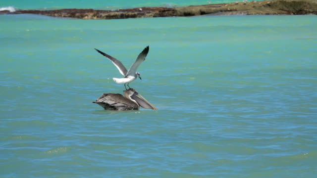 SLOW MOTION: Annoying seagull irritating pelican trying to land on his head video