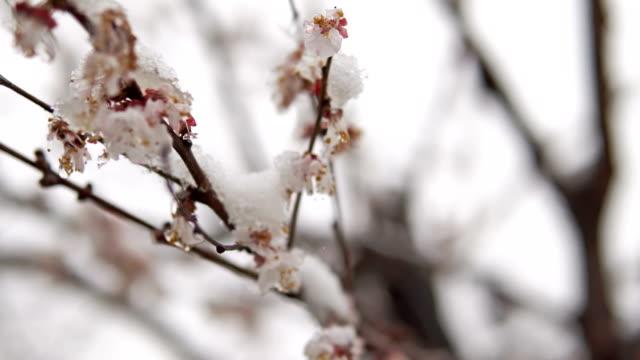 avvikande väder våt snö på chear trädet blomma, filmiska dof - fruktträdgård bildbanksvideor och videomaterial från bakom kulisserna