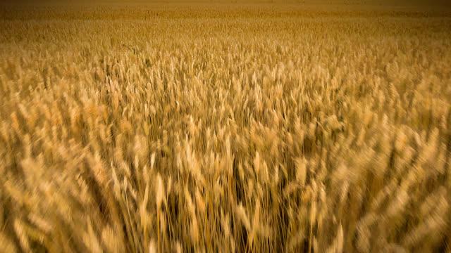 麦畑の上の別のフライト - 大麦点の映像素材/bロール