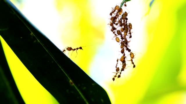 Ant bridge unity team, 4K. Red ant bridge unity team on tree. bridge built structure stock videos & royalty-free footage