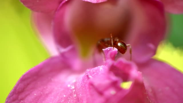 HD MACRO: Ant On A Flower video