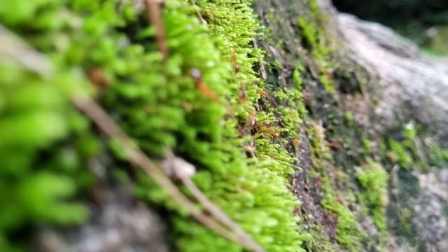 ant walking on moss - muschio flora video stock e b–roll
