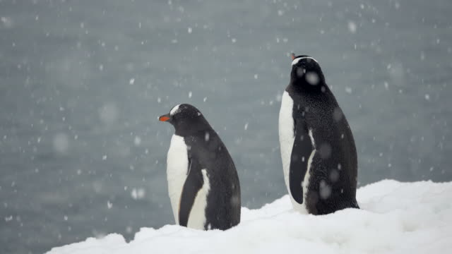 Antarctic Gentoo Penguins in Snow video