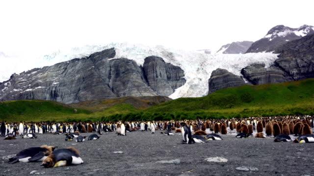 南極キングペンギンサウスジョージア Polar サークル ビデオ
