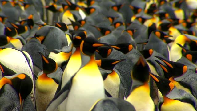 antarctica king penguins - pingwin filmów i materiałów b-roll