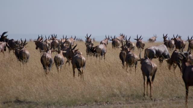 Antelope migration video