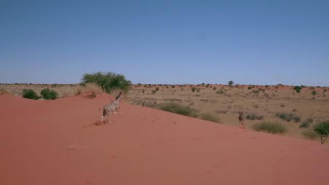 Antelopes running on the red sand dunes of Kalahari An aerial shot of kudus running in the desert of Africa namibia stock videos & royalty-free footage