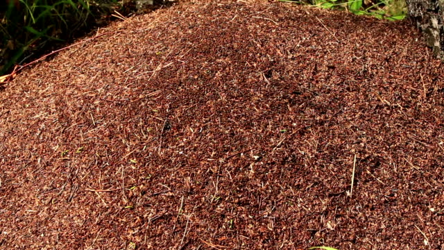 Anthill and working ants top view video