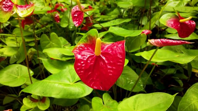 Anthurium flower video