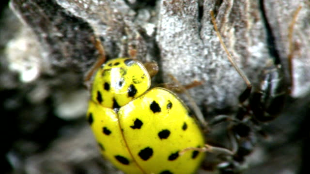 Ants and ladybird. close-up. Ants and ladybird. close-up. Shooting by two objectives. Depth of sharpness 1-3mm. parasitic stock videos & royalty-free footage