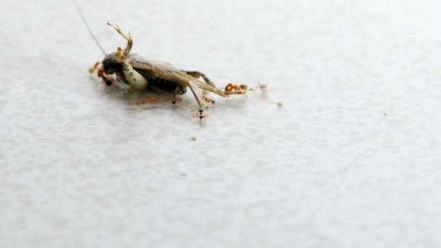 Ants carry away a dead grasshopper. video