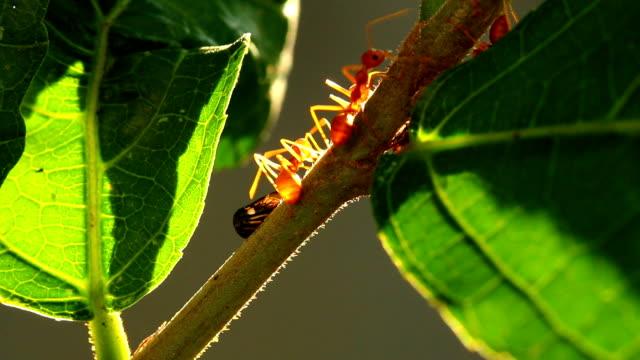 ants climbing on kaffir tree - group of people filmów i materiałów b-roll