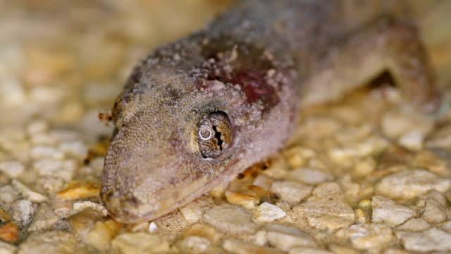 Ants eat a dead gecko close up video