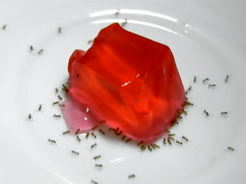 Ants Eating Gelatin (Timelapse NTSC) hundreds of very small ants feed from a red gelatin cube on a plate. Timelapse from a 2 1/2 hour time frame. NTSC 30f.  Ants Work [url=http://istockphoto.com/file_closeup.php?id=2172890][img]http://www.istockphoto.com/file_thumbview_approve.php?size=1&id=2172890[/img][/url][url=http://istockphoto.com/file_closeup.php?id=3658934][img]http://www.istockphoto.com/file_thumbview_approve.php?size=1&id=3658934[/img][/url][url=http://istockphoto.com/file_closeup.php?id=3658584][img]http://www.istockphoto.com/file_thumbview_approve.php?size=1&id=3658584[/img][/url][url=http://istockphoto.com/file_closeup.php?id=3678952][img]http://www.istockphoto.com/file_thumbview_approve.php?size=1&id=3678952[/img][/url] [url=http://www.istockphoto.com/my_lightbox_contents.php?lightboxID=4333410][img]http://i1199.photobucket.com/albums/aa480/jamesbenet/Food.jpg[/img][/url] jello stock videos & royalty-free footage
