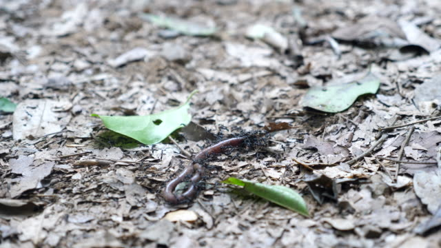Ants Hunting Earthworm in Forest
