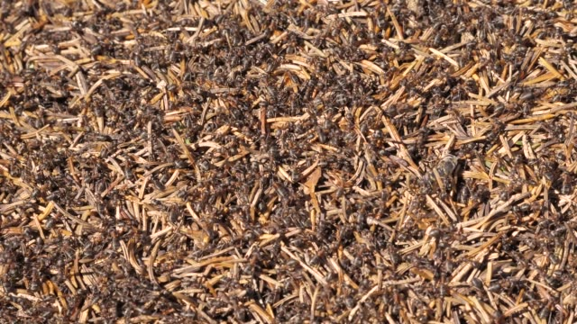 ants in an anthill with many needles