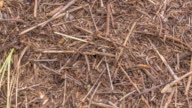 istock Ants on the ant hill in the woods closeup timelapse, macro 1233250792
