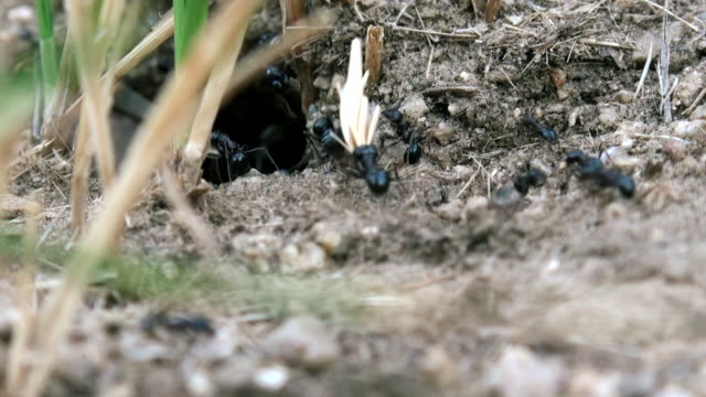 Ants using twigs to build an ant hill - video