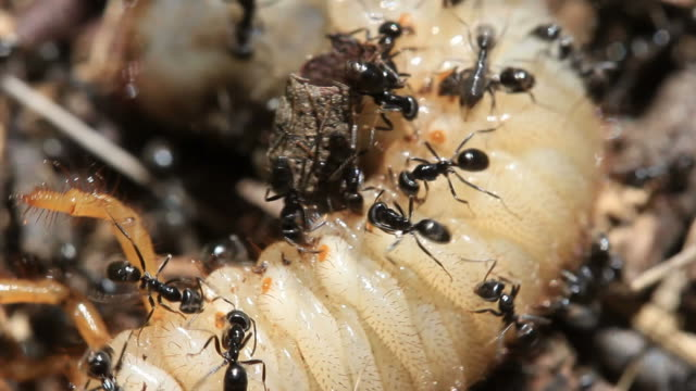 Ants Vs Beetle Grub Cu3 Stock Video Download Video Clip Now Istock