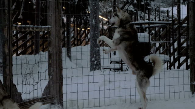 anxious behavior of husky dogs in cage - cane husky video stock e b–roll