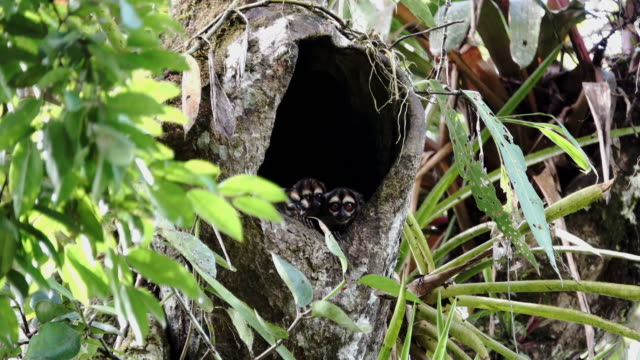 Aotus vociferans In The Tree Hole video