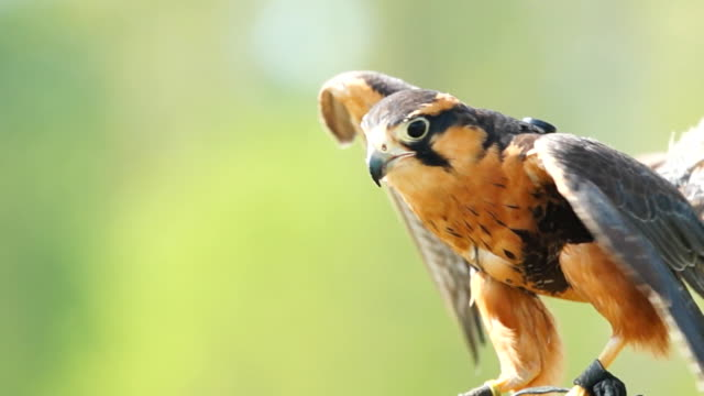 aplomado falcon - bedrohte tierart stock-videos und b-roll-filmmaterial
