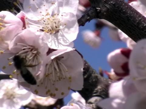 fiore di melo  - albicocco video stock e b–roll