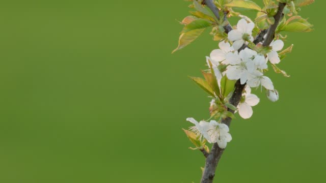 Apple blossoms at sunset in spring video