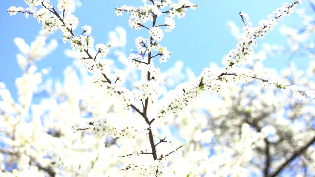 fiori di melo in primavera - stame video stock e b–roll