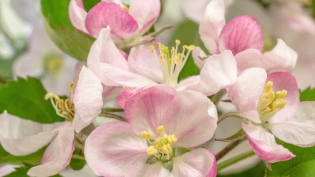 äpple blomma blommar mot gul bakgrund i en tid förfaller film. malus pumila växer i tids förlopp. -stock video - äppelblom bildbanksvideor och videomaterial från bakom kulisserna