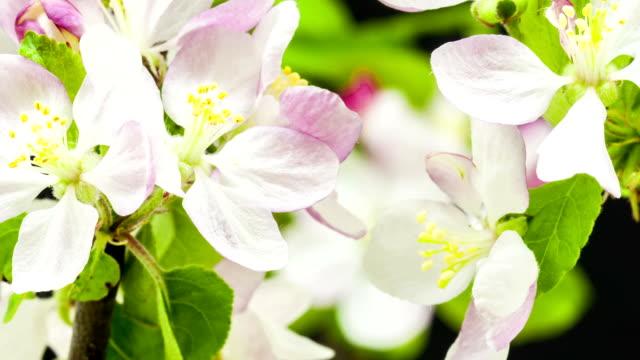 apple blomma växer i en långtidssekvenser video mot svart bakgrund. malus domestica blomma blommande. - äppelblom bildbanksvideor och videomaterial från bakom kulisserna