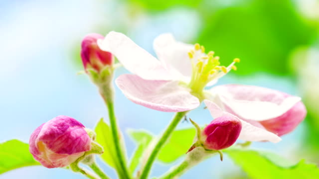 apple blomma växer i en långtidssekvenser video mot blå bakgrund. malus domestica blomma blommande. - äppelblom bildbanksvideor och videomaterial från bakom kulisserna
