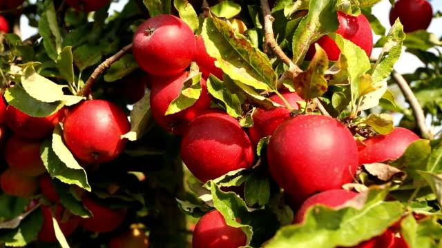 Apple Orchard, camera pan video