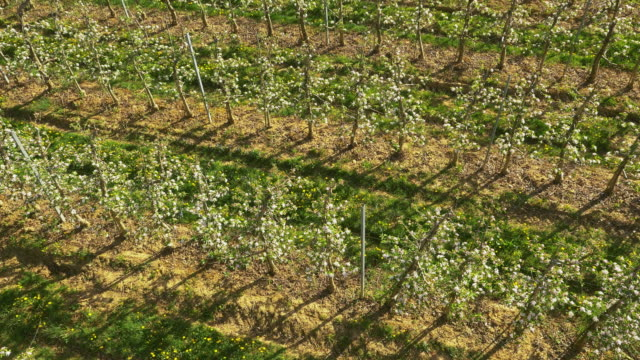 AERIAL Apple orchard in the countryside video