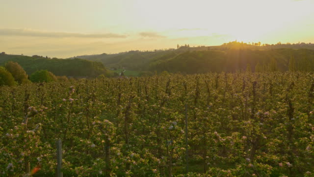 AERIAL Apple orchard on the hill at dawn video