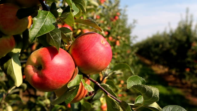 Apple Orchard video