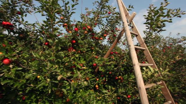 apfelplantage mit leiter - pflücken stock-videos und b-roll-filmmaterial