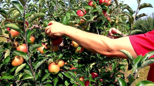 apple plockning i orchard - fruktträdgård bildbanksvideor och videomaterial från bakom kulisserna