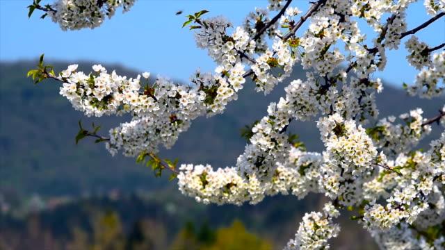 äpple våren blossoms och bin. - äppelblom bildbanksvideor och videomaterial från bakom kulisserna