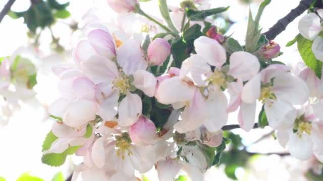 Apple tree blossom close-up. Sounds of nature in audio background. video