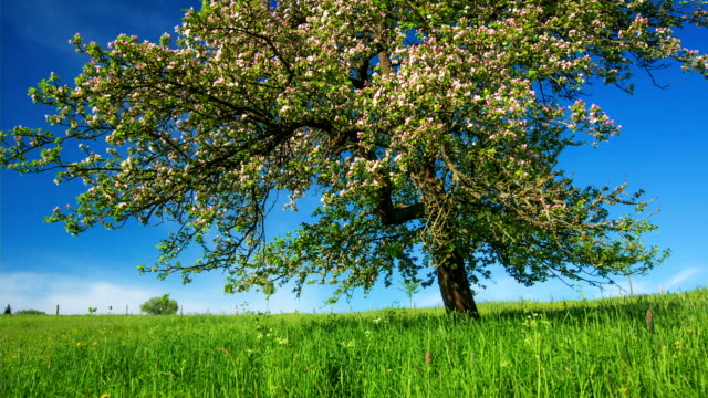 CRANE UP: Apple Tree Blossom video
