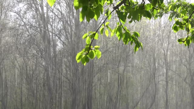 Apple tree branch with green foliage and heavy rain in the sunlight. Video with sound.