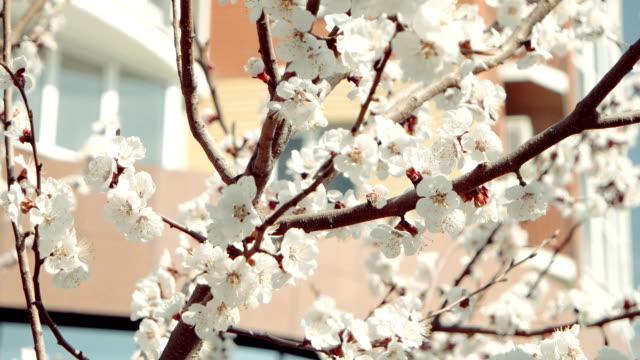 apple trädgrenar på våren täckta med vackra blommor - designelement bildbanksvideor och videomaterial från bakom kulisserna