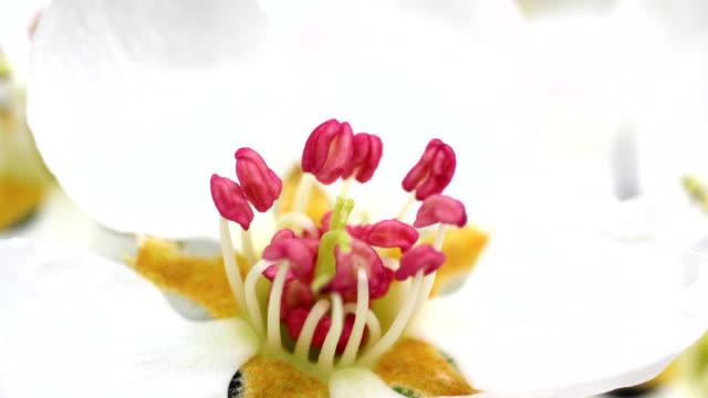 Apple tree flowers blooming 4K video