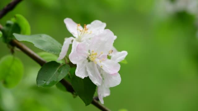 Apple tree flowers spring white awakening nature color early macro 4k video