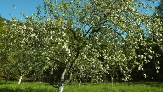 Apple tree - Four seasons Apple tree - Four seasons apple fruit stock videos & royalty-free footage