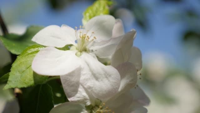 äppel träd vår blommor grunt dof 4k 3840x2160 ultrahd footage-vackra vita äppel träd blommor på solig dag 4k 2160p uhd video - äppelblom bildbanksvideor och videomaterial från bakom kulisserna